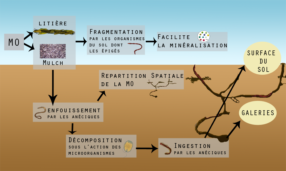 Les organismes du sol contribution des vers de terre for Traitement vers du sol