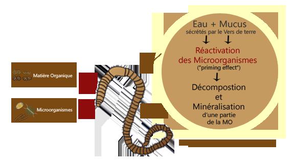 Les organismes du sol contribution des vers de terre la dynamique des nutriments - Terre et eau witry les reims ...