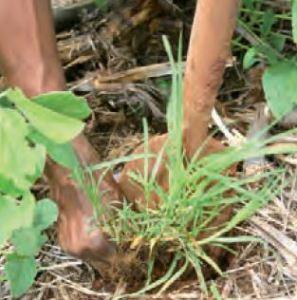 comment planter kikuyu