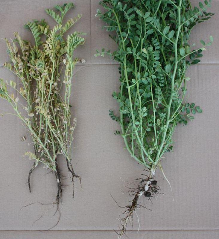 Les plantes de couverture fusariose for Couverture plante hiver