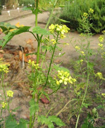 Les plantes de couverture moutarde blanche for Plante wasabi