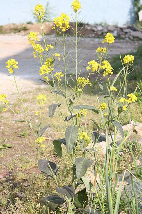Les plantes de couverture moutarde brune for Couverture plante hiver