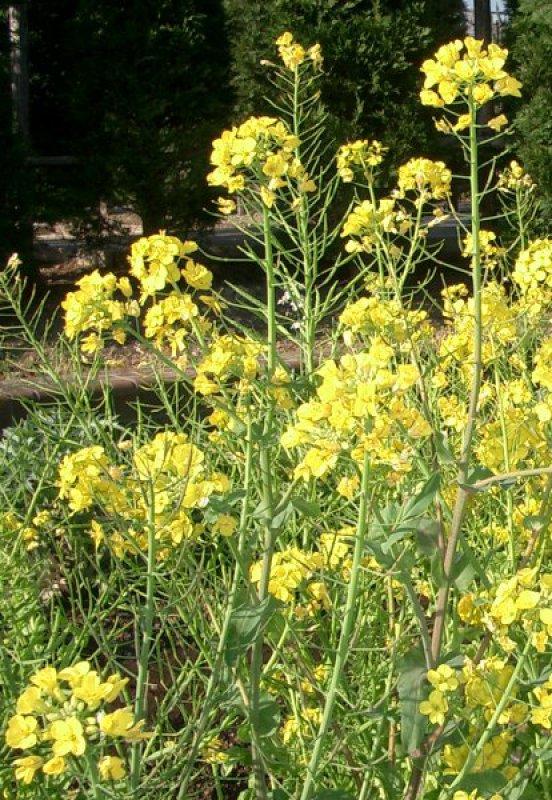 Les plantes de couverture navette d 39 hiver for Couverture plante hiver