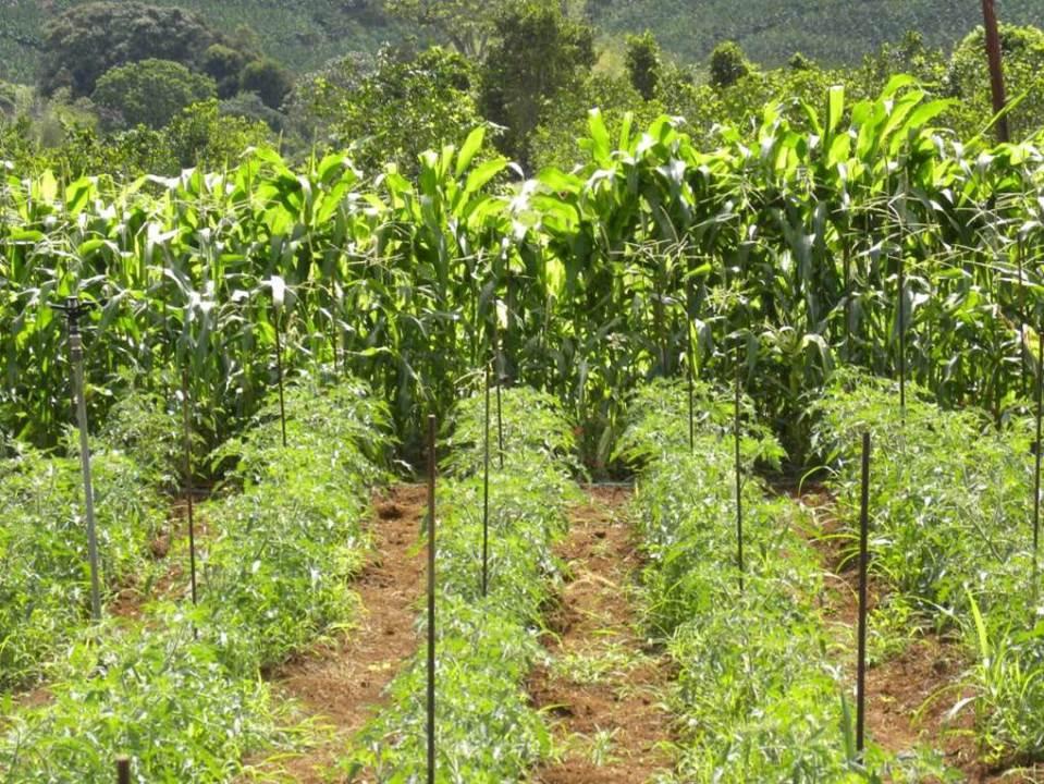 gestion agro cologique cologiquement intensive des bioagresseurs en horticulture tropicale. Black Bedroom Furniture Sets. Home Design Ideas